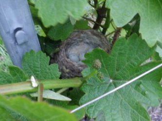 vignes Bliensch nid